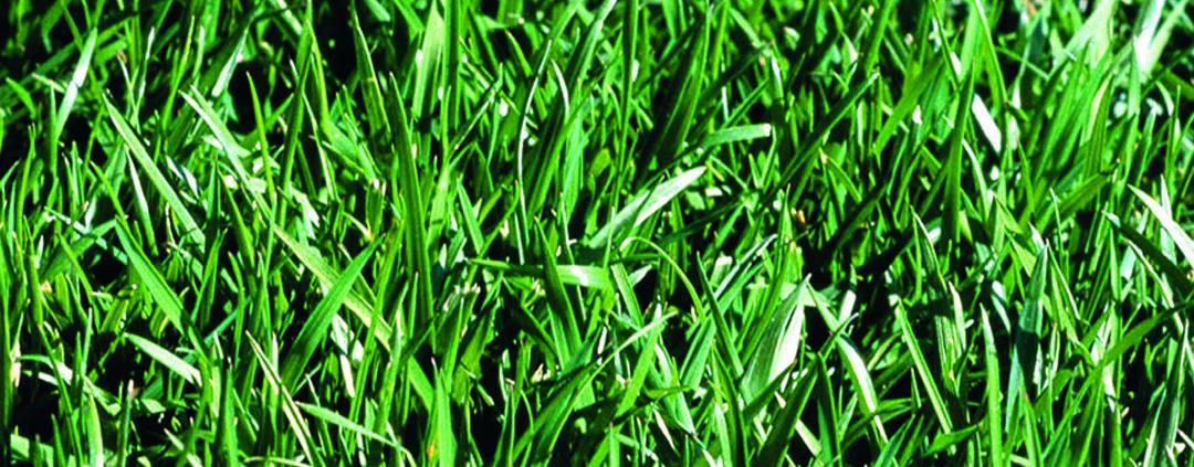närbild på gräs