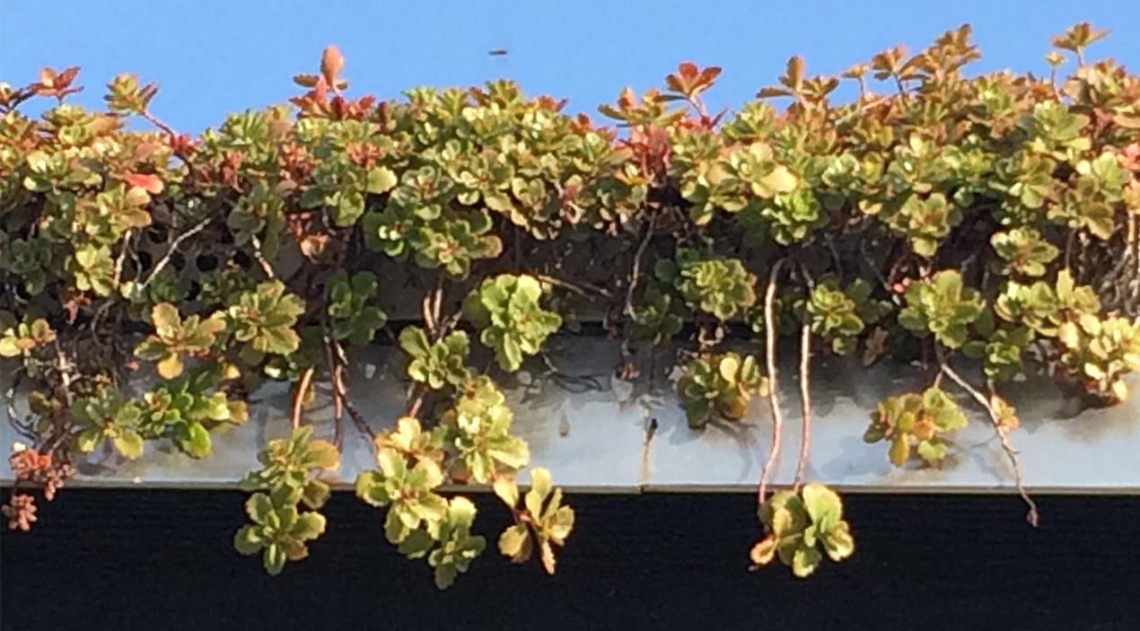 sedumväxter på grönt tak från sidan