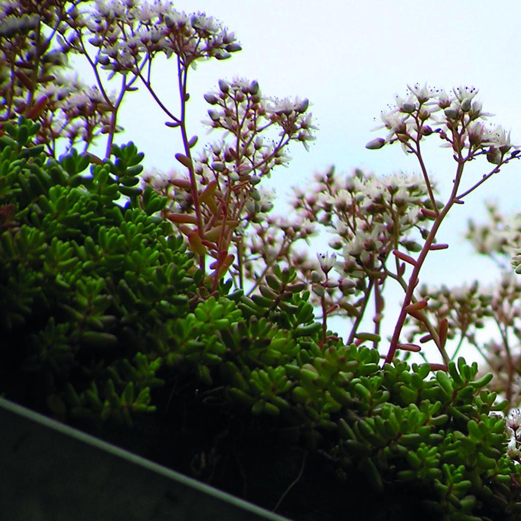 Blommande sedum sett från sidan