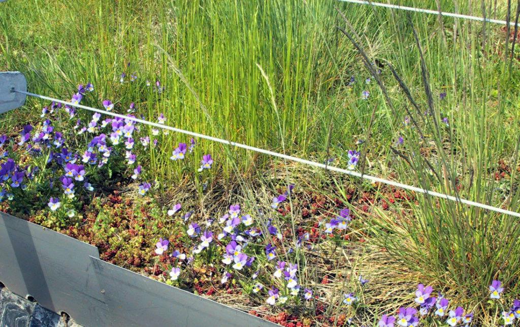 violer i kanten av ett grönt tak